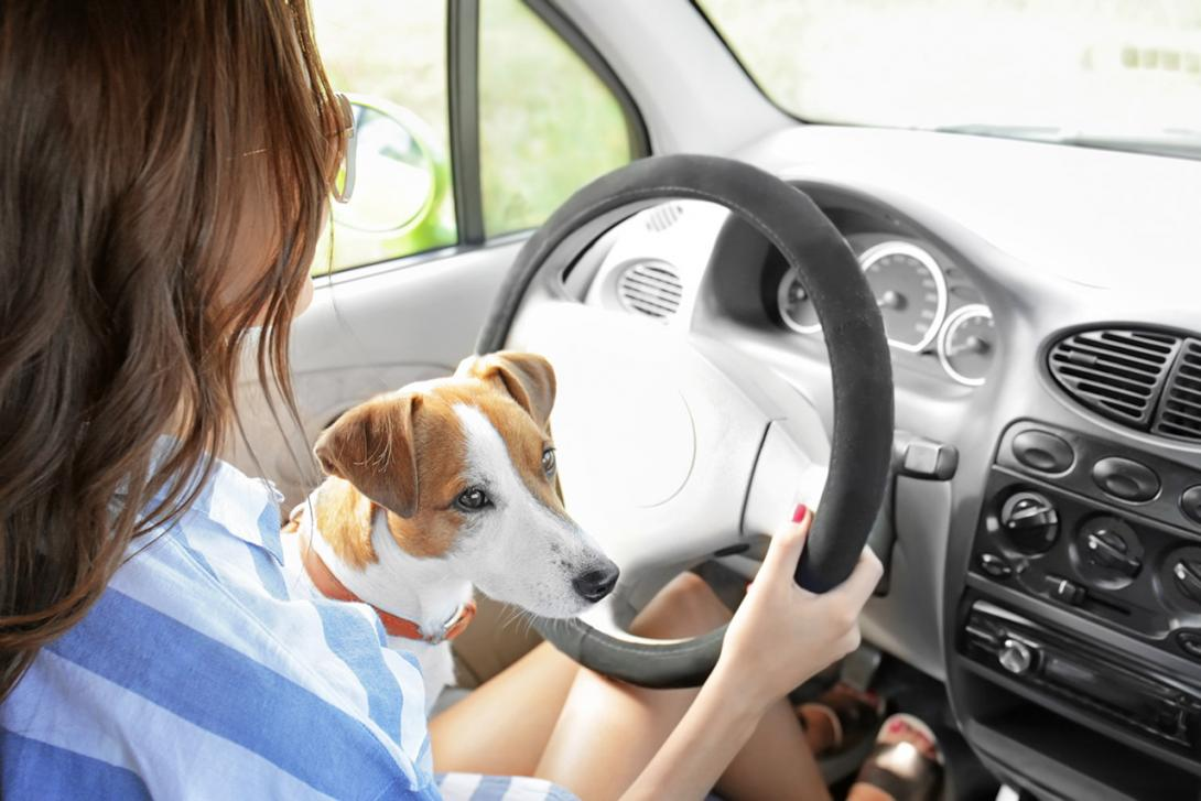Přeprava psa na klíně řidiče